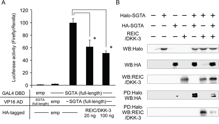 The interference of REIC/DKK-3 with SGTA-SGTA dimerization