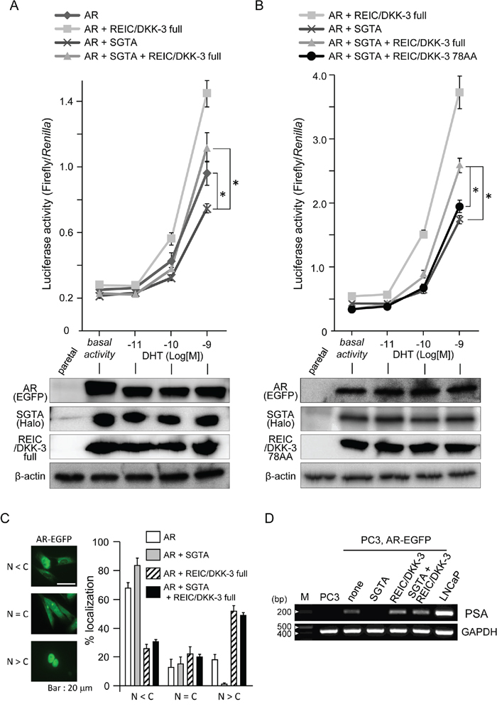 The modification of AR sensitivity, AR localization and PSA expression by SGTA and/or REIC/DKK-3 expression in pEGFP-C1-AR-transfected PC3 cells