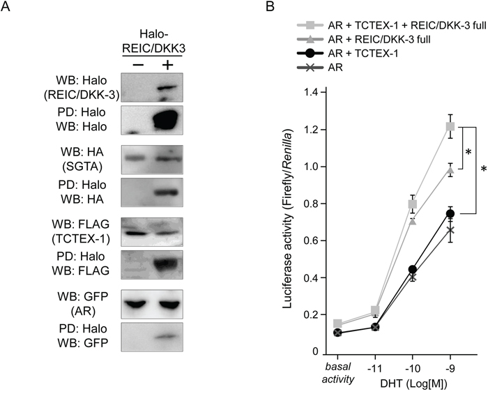 REIC/DKK-3 is a part of the AR complex including SGTA and TCTEX-1