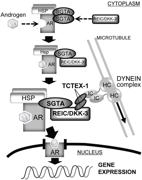 The role of the REIC/DKK-3-SGTA interaction in AR signaling The proposed role of the REIC/DKK-3-SGTA interaction for AR signaling is shown.