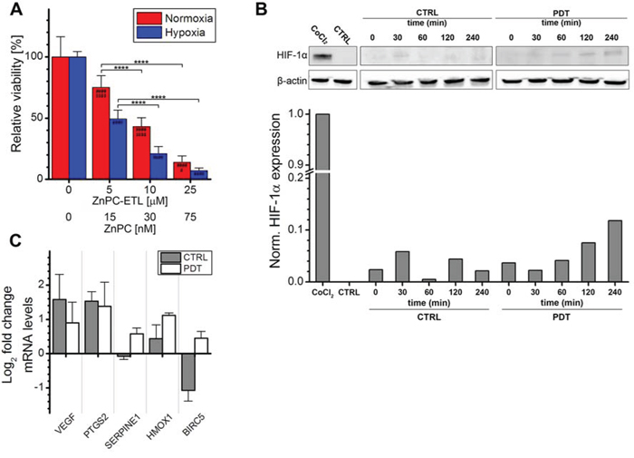 Analysis of HIF-1α activation after PDT.