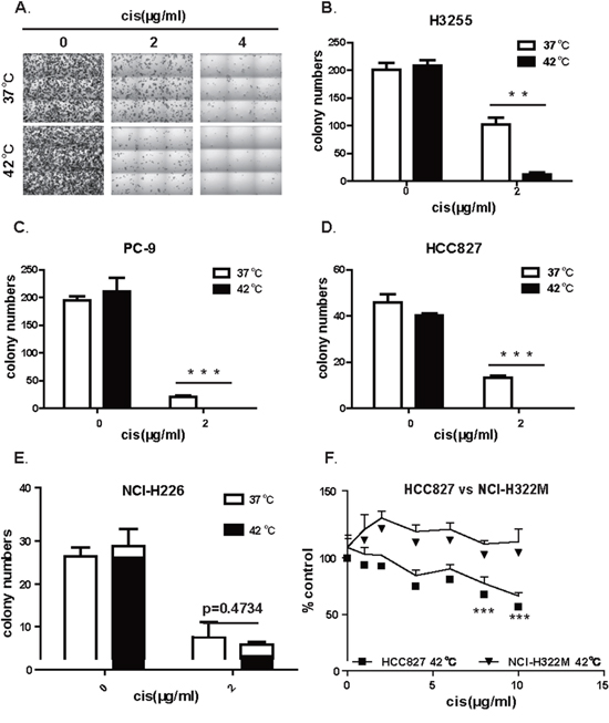 Hyperthermia synergizes with cisplatin in eliminating the ability of colony formation in lung cancer cell positive for EGFR mutation.