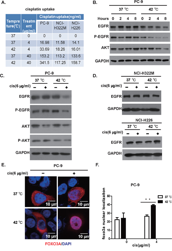 Hyperthermia synergizes cisplatin in killing lung cancer cell positive for EGFR mutation.