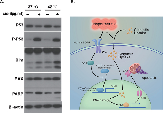 Hyperthermia and Cisplatin synergistically activated the apoptotic machinery.