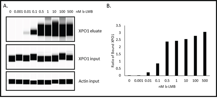 b-LMB binds XPO1 in a dose-dependent manner in MM.1S cells.