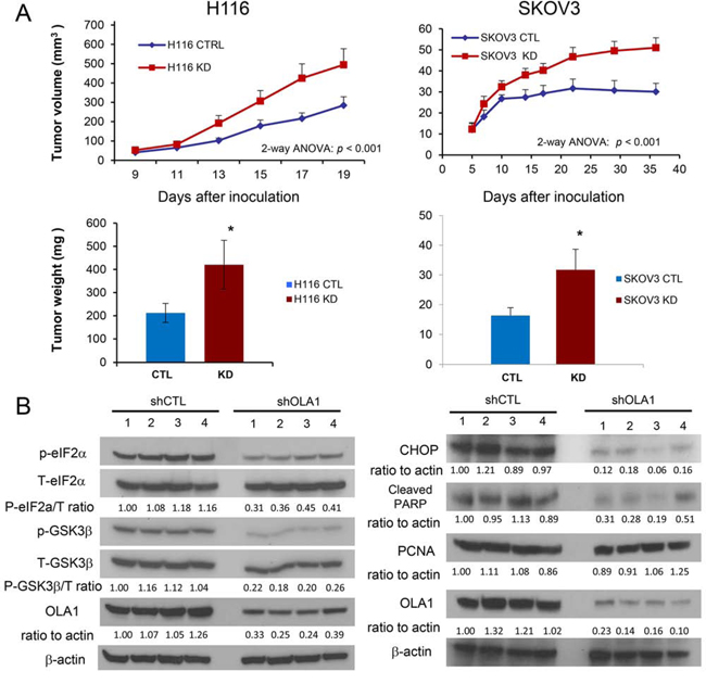 Figure 1. Knockdown of OLA1 promotes tumor growth in vivo.