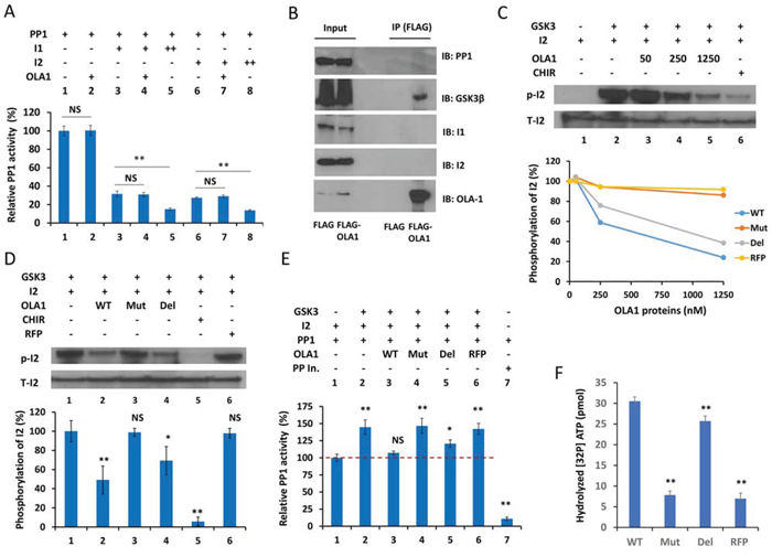 Figure 4. OLA1 inhibits PP1 reactivation by blocking GSK3β from phosphorylation of I-2.