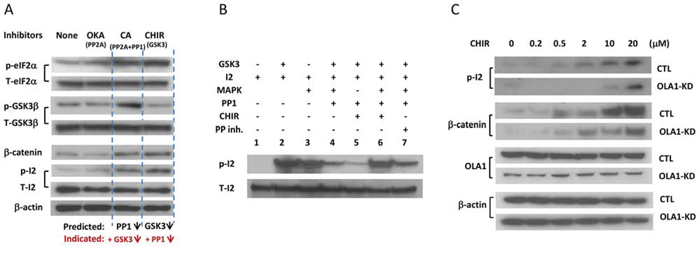 Figure 5. Validation of the GSK3-I-2-PP1 feedback loop and OLA1 as its suppressor.