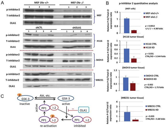 Figure 6. Hypophosphorylation of I-2 (Thr-72) is indicative of an activated GSK3-I-2-PP1 positive feedback loop in vitro and in vivo.