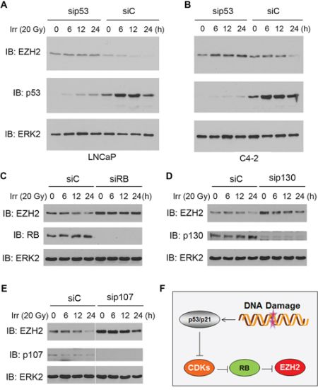 Role of p53 and the RB family proteins in irradiation-induced downregulation of EZH2 expression.