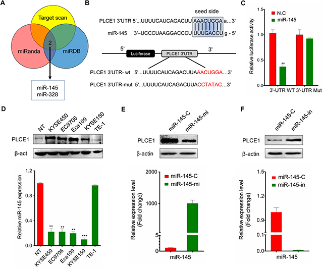 MiR-145 targets PLCE1 in ESCC.