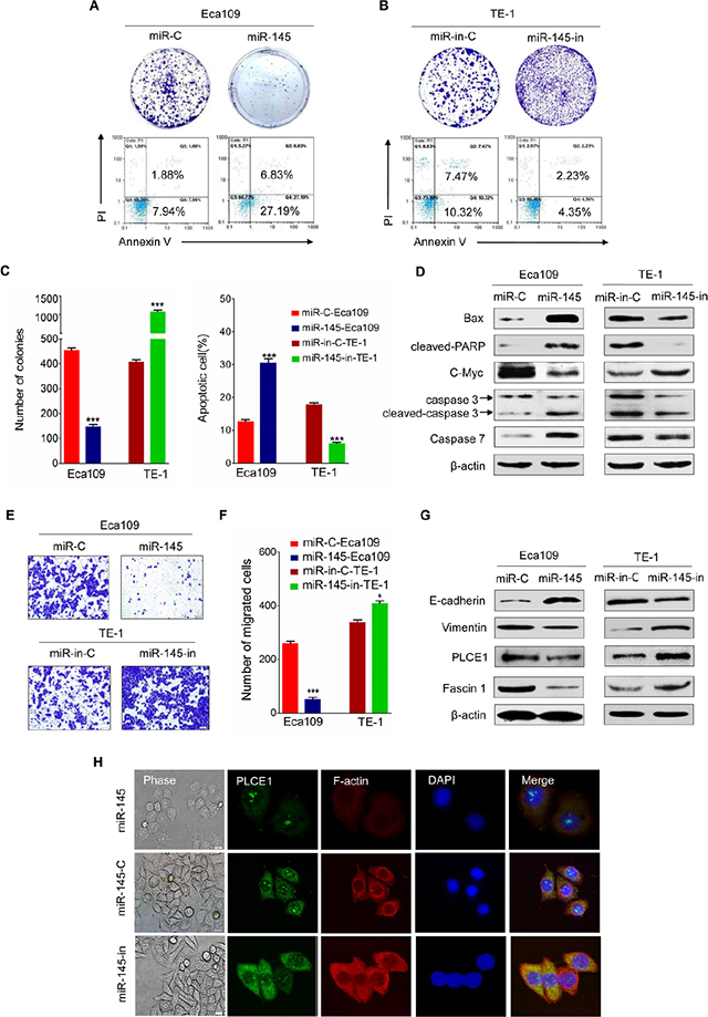Tumor suppressive effects of miR-145 in ESCC.