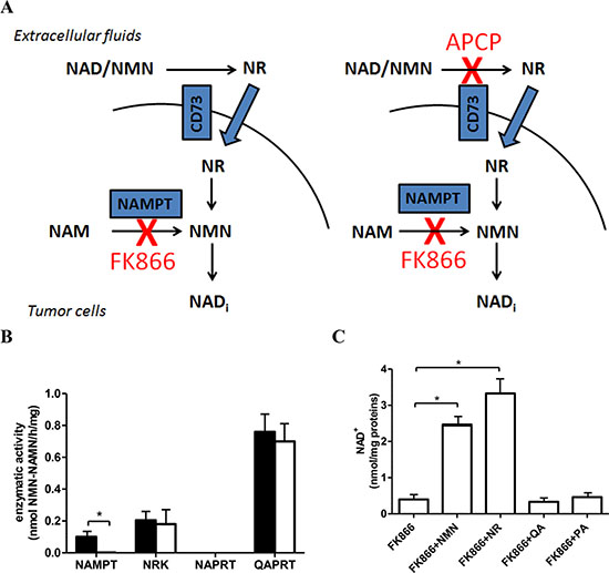 OVCAR-3 cells are sensitive to NAMPT inhibition with FK866.