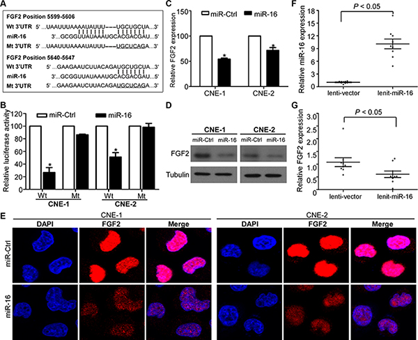 FGF2 is a direct transcriptional target of miR-16 in NPC.