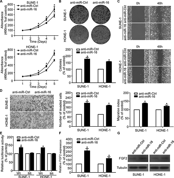 Silencing of miR-16 promotes NPC cell viability, proliferation, migration, and invasion.