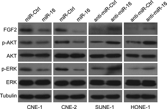 miR-16 suppresses the PI3K/AKT and MAPK signaling pathways.