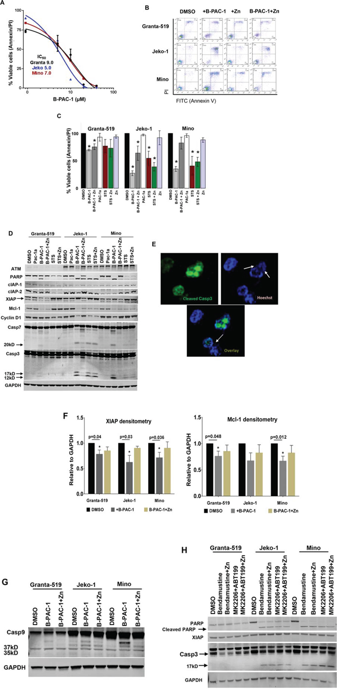 B-PAC-1 induce cell death in MCL cell lines by activating Casp3.