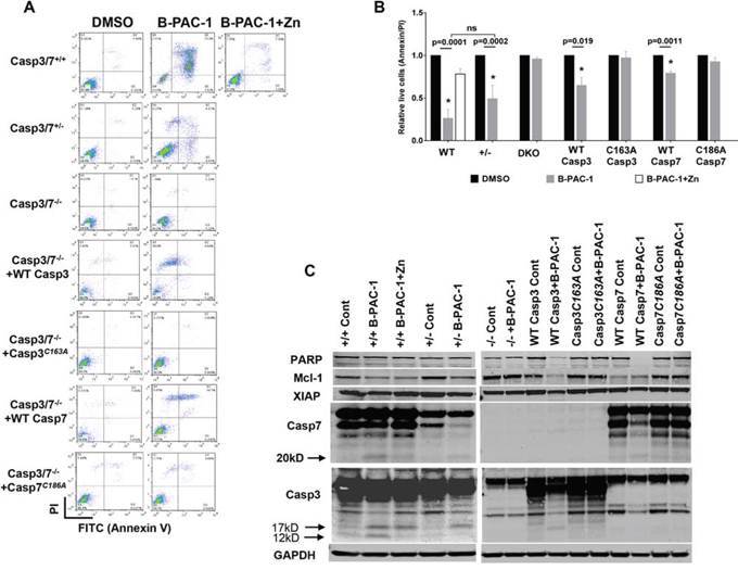 Casapse3/7 DKO MEF cells are resistant to B-PAC-1 induced cell death.