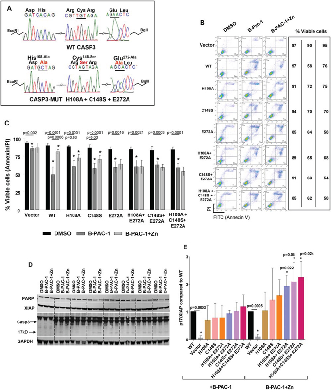 Mutation of predicted Zn binding regions in Casp3 preprotein abolishes Zn reversal of apoptosis induced by B-PAC-1 in MEF cells.