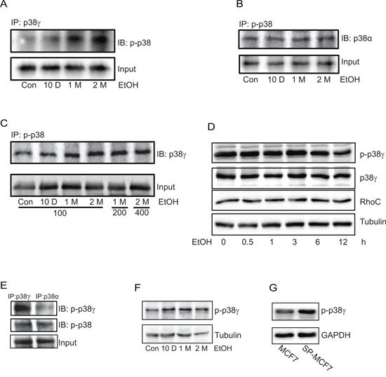Effect of chronic ethanol exposure on the phosphorylation of p38γ MAPK.