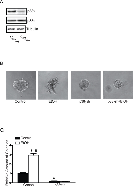 Effects of p38γ knock-down on ethanol-induced malignancy.
