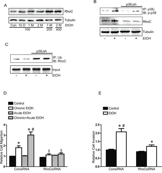 Effects of chronic ethanol exposure on RhoC expression.