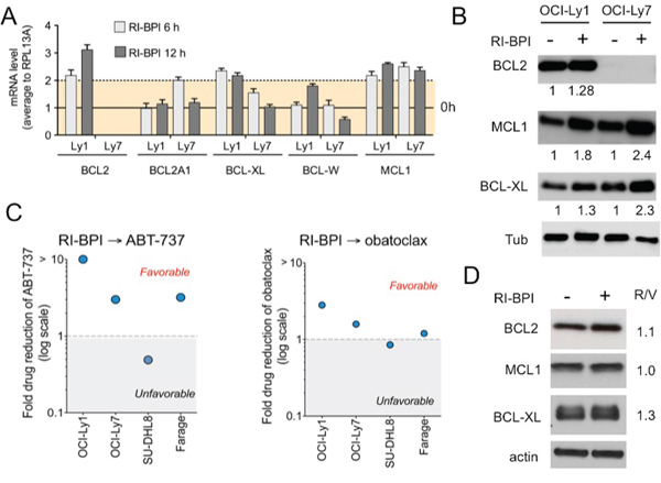 Figure 3. RI-BPI changes the dynamic of the BCL2-family components and sensitizes cells to BH3 mimetic drugs