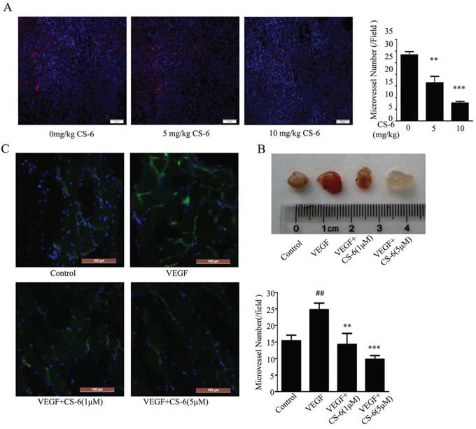 CS-6 inhibited angiogenesis in vivo.