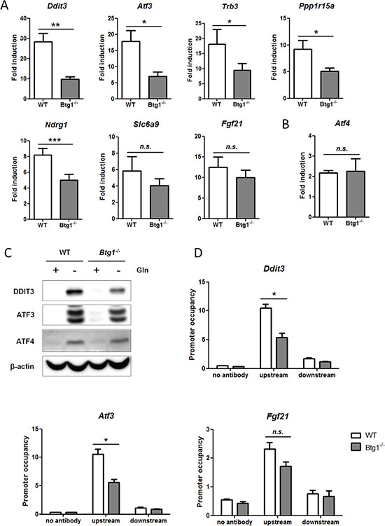 Loss of BTG1 negatively affects ATF4-mediated gene expression.