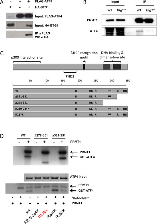 BTG1 facilitates PRMT1 binding to and methylation of ATF4.