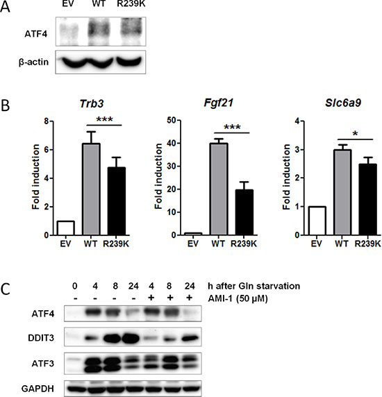 Loss of PRMT1-mediated methylation at residue R239 attenuates ATF4 function.