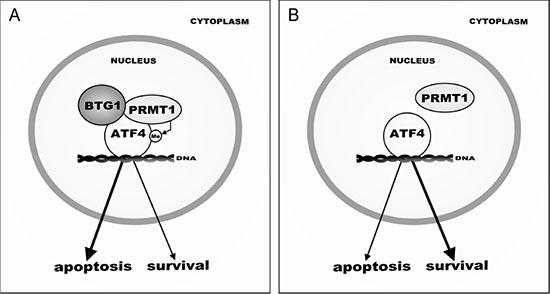 Model of BTG1-mediated ATF4 regulation during cellular stress.