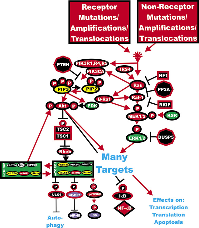 Activation of the Ras/Raf/MEK/ERK and Ras/PI3K/PTEN/Akt/mTOR Pathways by Genetic Mutations.