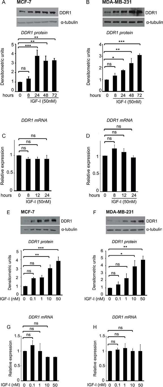 IGF-I induces DDR1 upregulation in breast cancer cells.