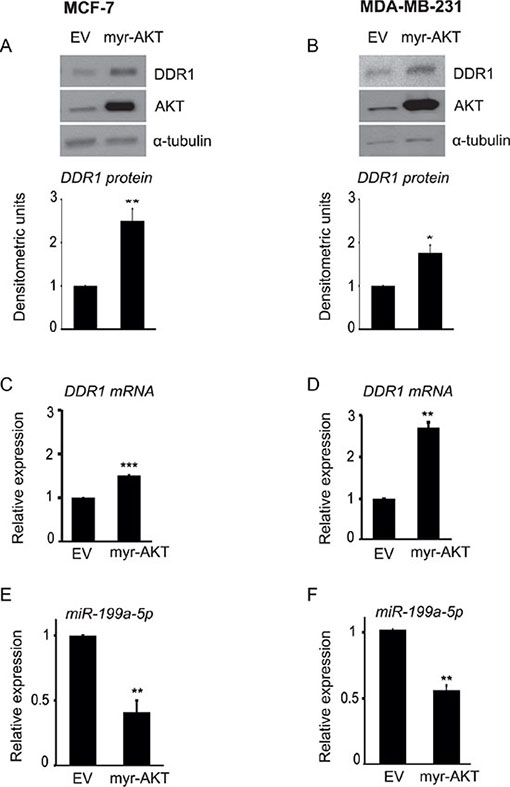 AKT activity is directly involved in DDR1 upregulation and inhibition of miR-199a-5p.