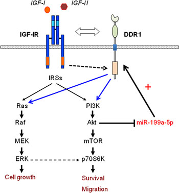 Schematic representation of the positive feedback involving IGF-IR expression and function through the AKT/miR-199a-5p/DDR1 pathway.