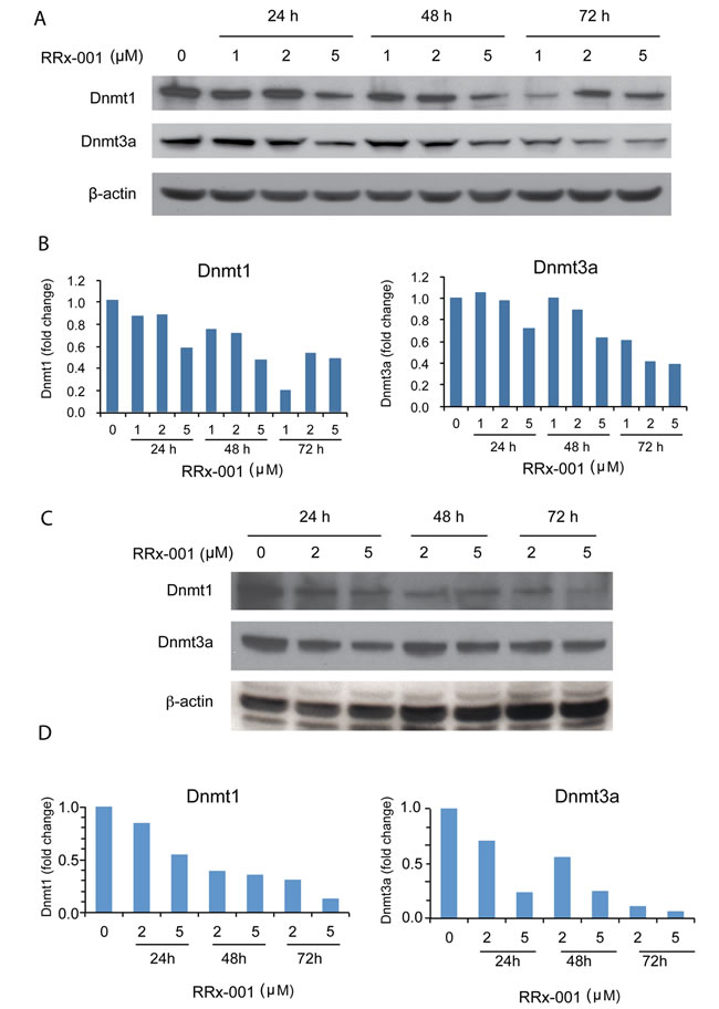 Determination of the effect of RRx-001 on the protein levels of Dnmt1 and Dnmt3a by western blot.