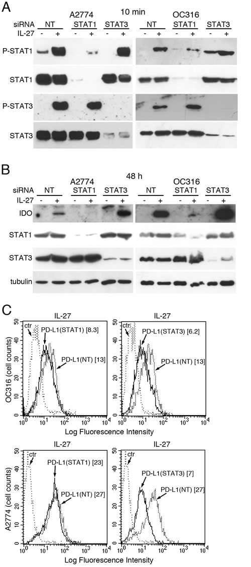 Silencing of STAT1 or STAT3 with siRNA effects IL-27-driven IDO or PD-L1 expression.