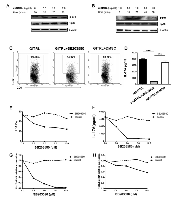 p38 MAPK is necessary for GITRL-induced Th17 differentiation.