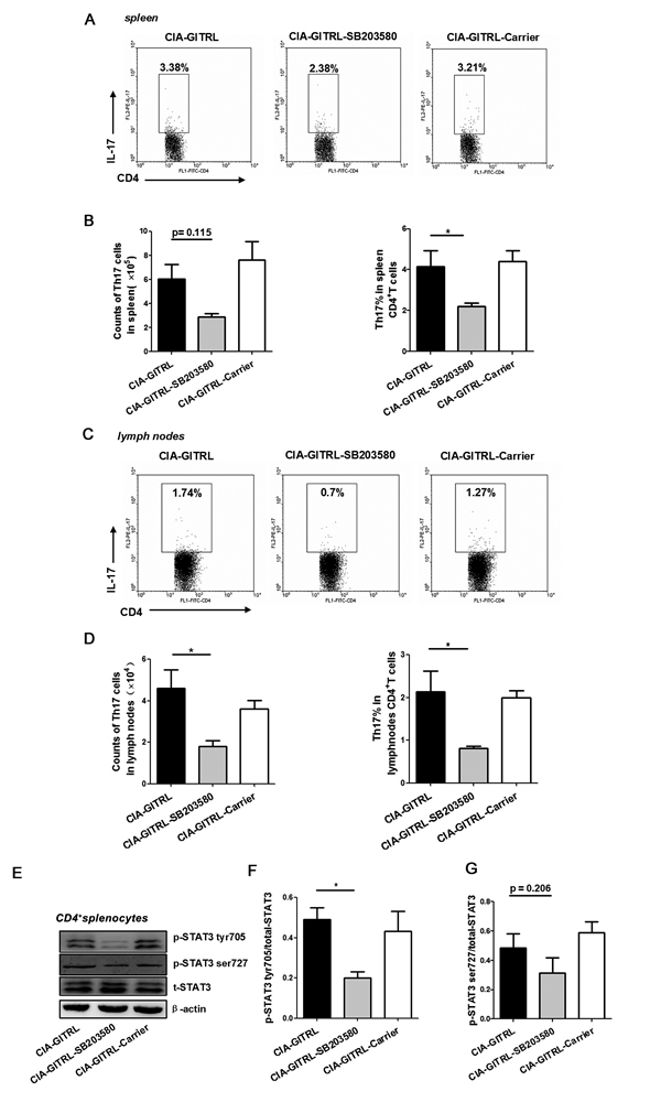 The p38 MAPK inhibitor reduced the Th17 cell response in the GITRL-treated CIA mice.