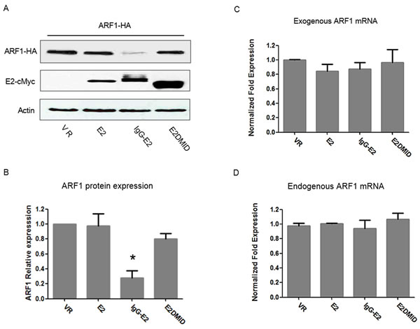 Expression of GBV-C E2 downregulates ARF1 protein expression without inhibiting ARF1 transcription.