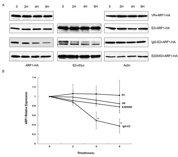 GBV-C E2 reduces ARF1 stability.