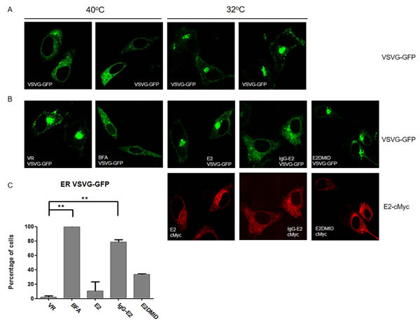 GBV-C E2 expression alters trafficking through the secretory pathway.