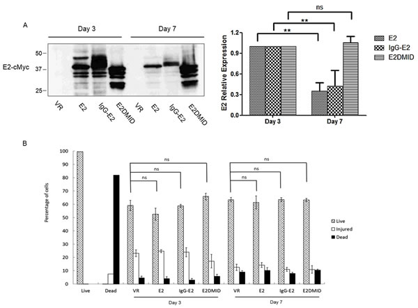 Expression of IgG-E2 does not cause dramatic cytotoxicity.