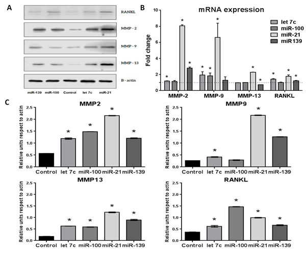 Effect of miRNA-100, -21, -139 and let 7c transfection of WPMY-1 cells on MMP-2, -9 and -13 and RANKL expression at 48 hours post-transfection.