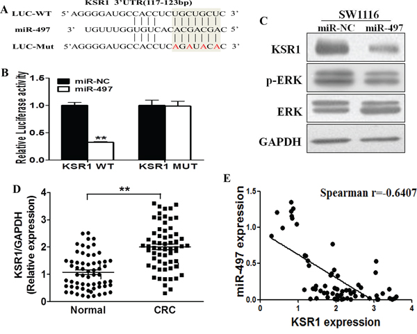 KSR1 is a direct target of miR-497, and is elevated in CRC tissues, which is inversely correlated with miR-497 expression levels.