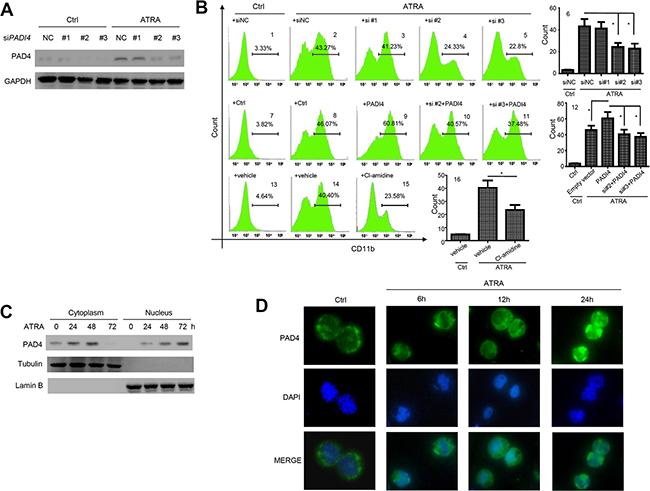 PAD4 promotes leukemia cell differentiation and ATRA treatment facilitates its nucleus translocation.