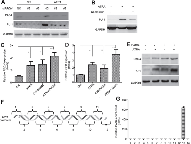 PAD4 indirectly regulates PU.1 during differentiation process.