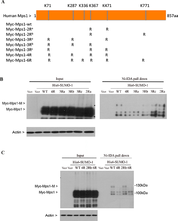 Identification of lysine residues essential for Mps1 sumoylation.