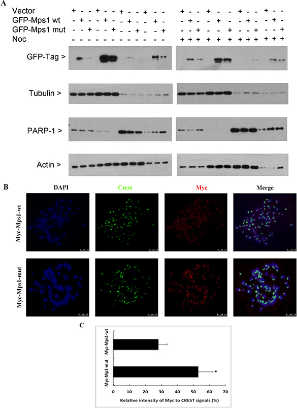 Sumoylation does not significantly affect Mps1 subcellular localization.